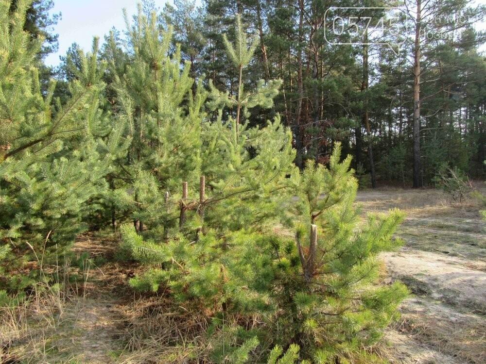 В лесу, неподалеку от Лозовой, зафиксировали нелегальную вырубку молодых елей (фото), фото-2
