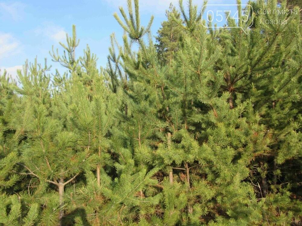 В лесу, неподалеку от Лозовой, зафиксировали нелегальную вырубку молодых елей (фото), фото-7