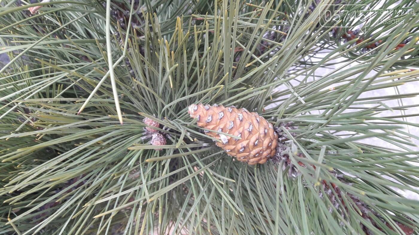 Сколько стоит красавица из леса: в Лозовой начали продавать елки, фото-10