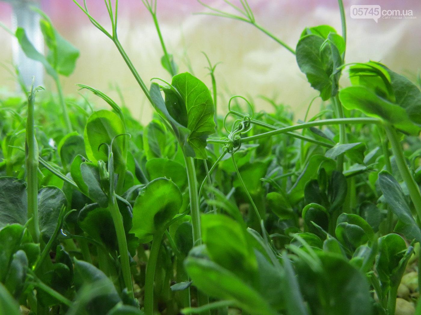 Вкусно, красиво, полезно: лозовчанка Елена Балахнина выращивает микрозелень, фото-2