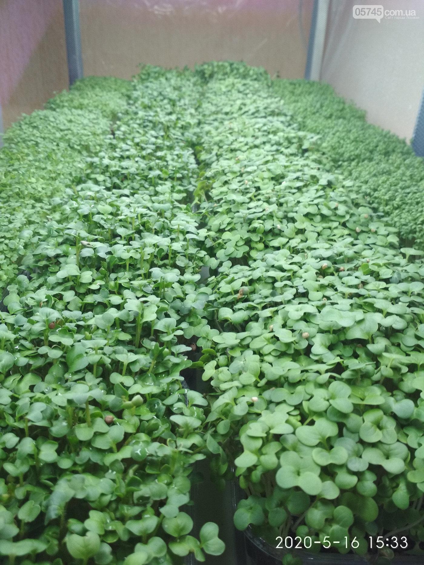 Вкусно, красиво, полезно: лозовчанка Елена Балахнина выращивает микрозелень, фото-1