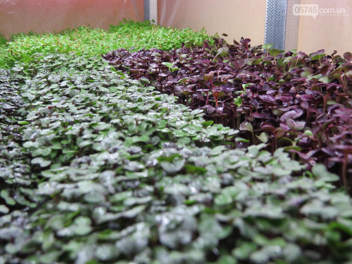 Вкусно, красиво, полезно: лозовчанка Елена Балахнина выращивает микрозелень, фото-3